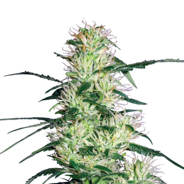 CDL CBD Buds